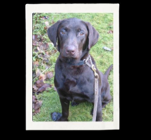 Rescue Program | Puget Sound Labrador Retriever Association
